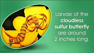 fact about a caterpillar
