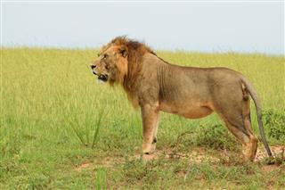 Lion Of Uganda