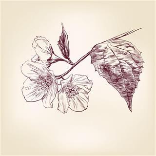 Hand Drawn Jasmine