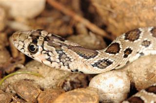 Snake Hemorrhois Hippocrepis