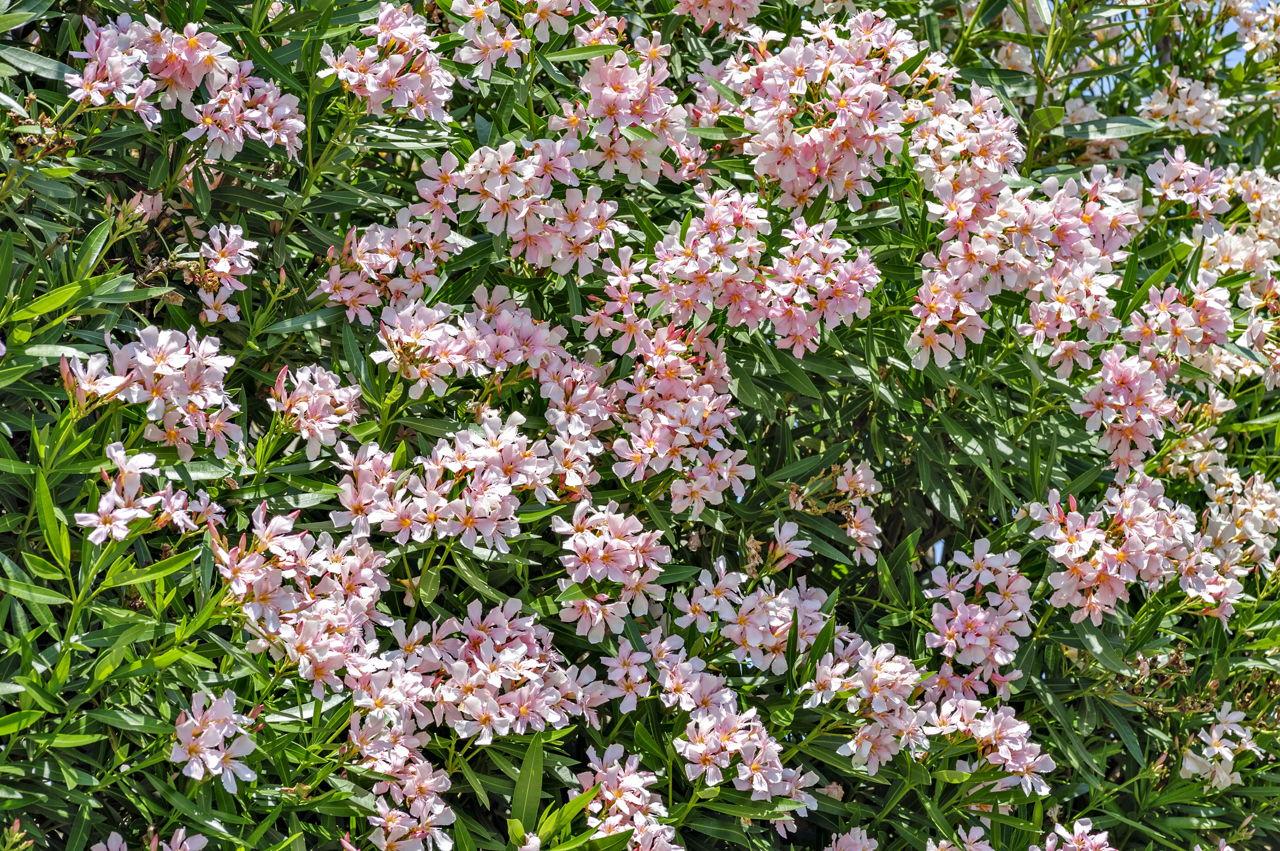 How to identify evergreen shrubs for Landscape bush identification