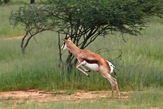 Jumping Springbok