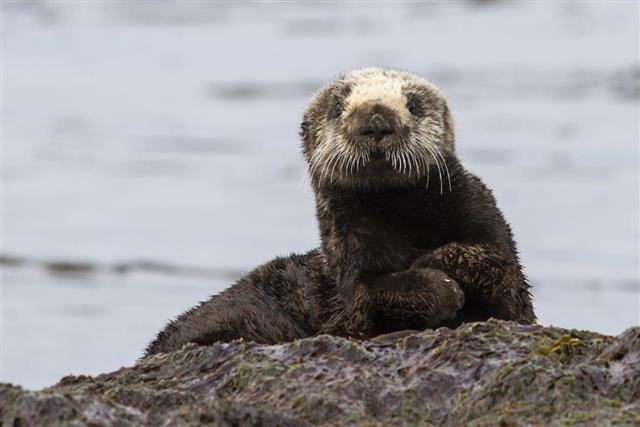Sea otter sitting on a rock