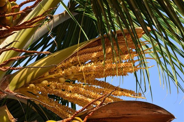 Coconut palm tree flower