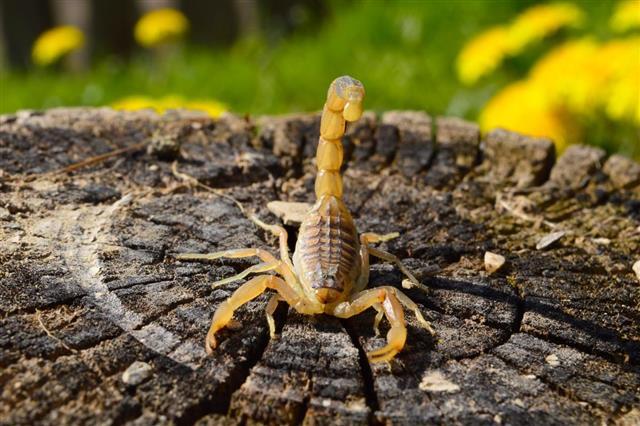 Scorpion on the stump???