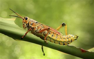 Beautiful grasshopper eating leaf
