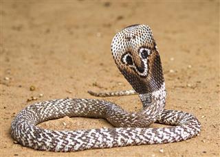 Naja naja Cobra
