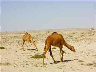 Arabian desert region