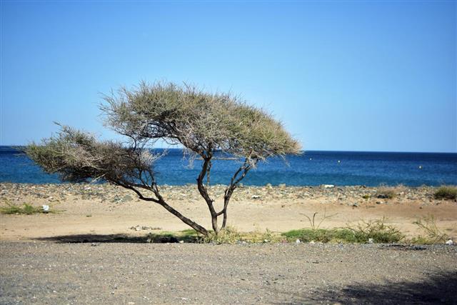 Alone acacia tree