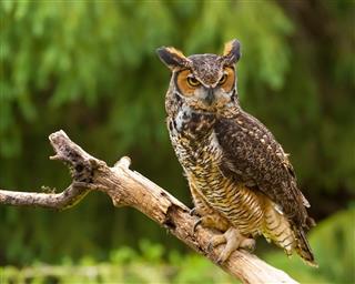 Owl in Nature