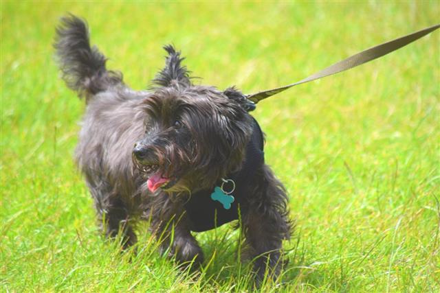 cute close up cairn terrier running dog