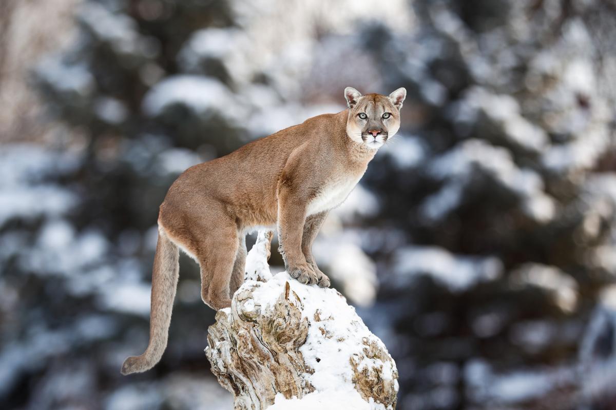 Cougar hunting in florida 10