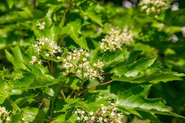 Tatarian Maple In Blossom