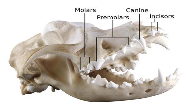 Dog Dental Anatomy