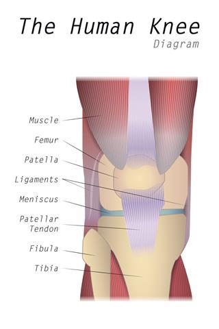 The Human Knee Diagram