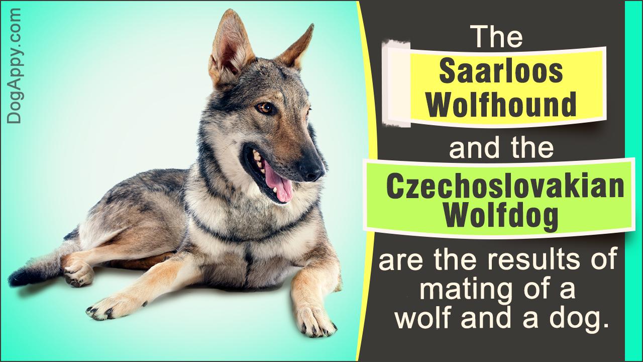 Saarloos Wolfhound Vs. Czechoslovakian Wolfdog