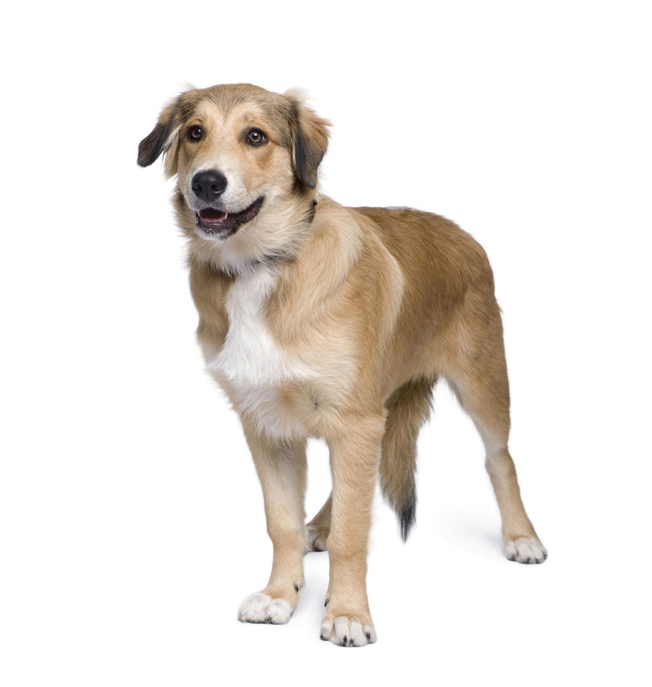 Hund Weißer Hintergrund