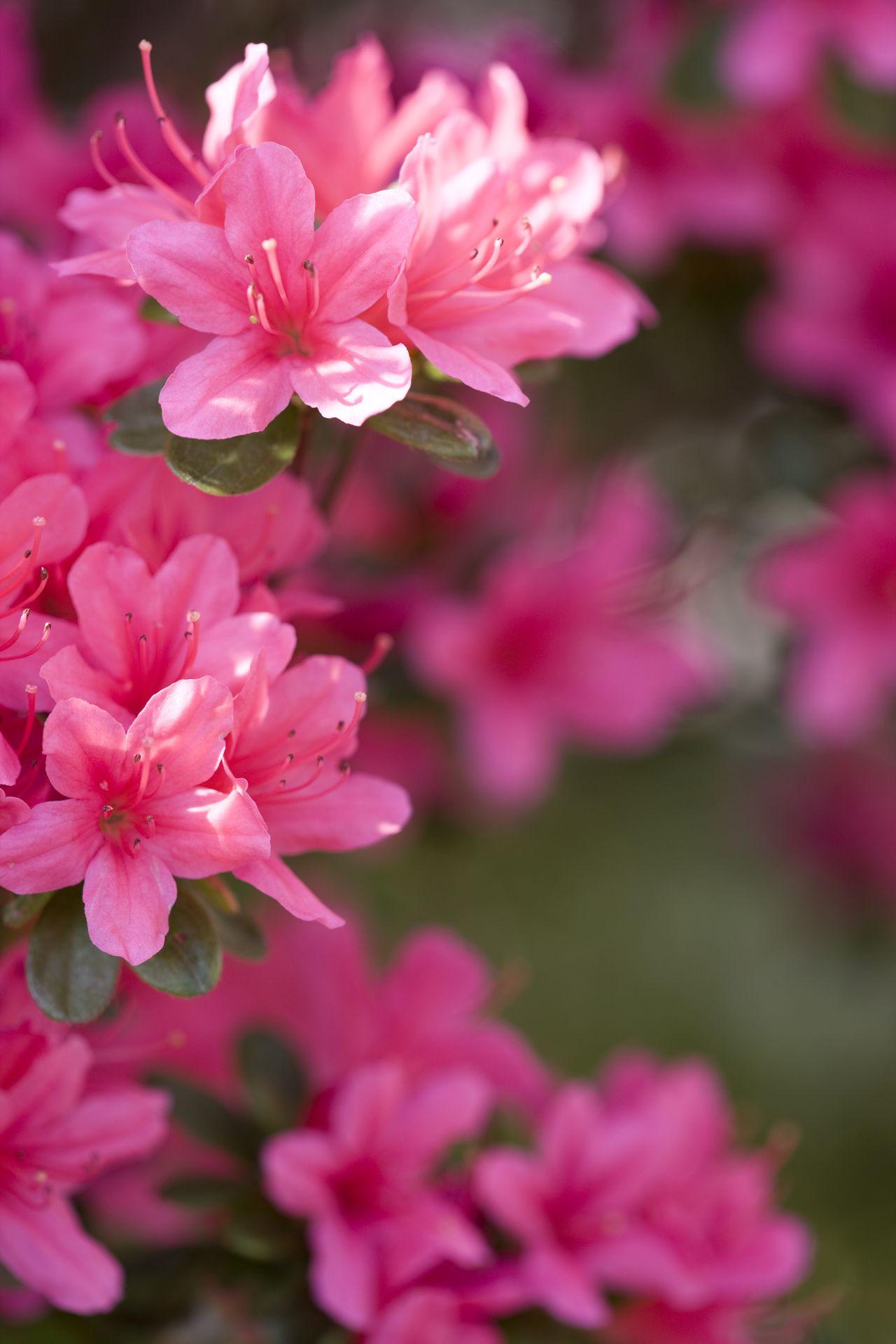 1280-157384017-azalea Hypoallergenic House Plants on durable house plants, long lasting house plants, allergy house plants, non toxic house plants,