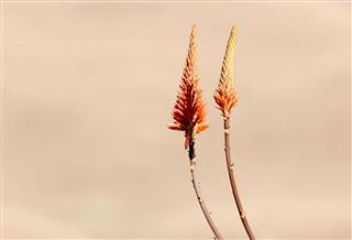 Wild Aloe