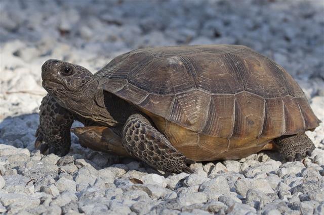 Single Gopher Tortoise