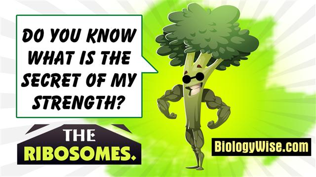 Healthy Food Green Broccoli