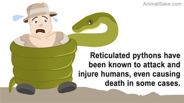 Moluccan Python Vector Illustration