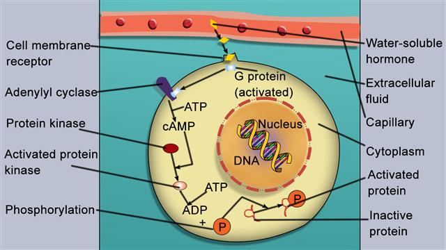 Peptide hormone