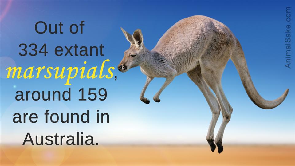 extant marsupials in australia