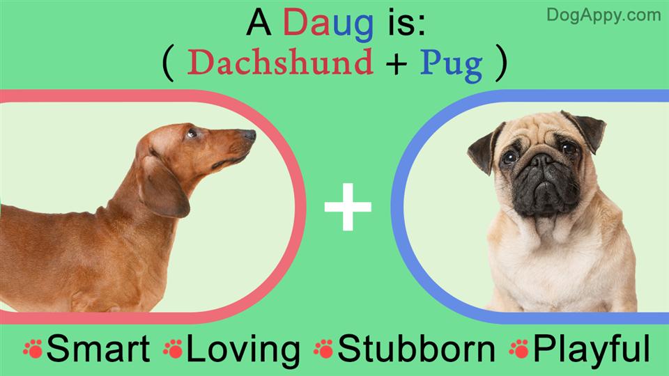 Pug-Dachshund mix breed traits