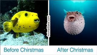 A puffer fish meme