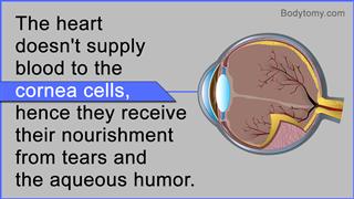 Cornea cells fact