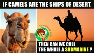 Closeup Of Camel