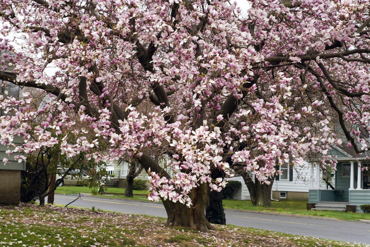 Types Of Flowering Cherry Trees Gardenerdy