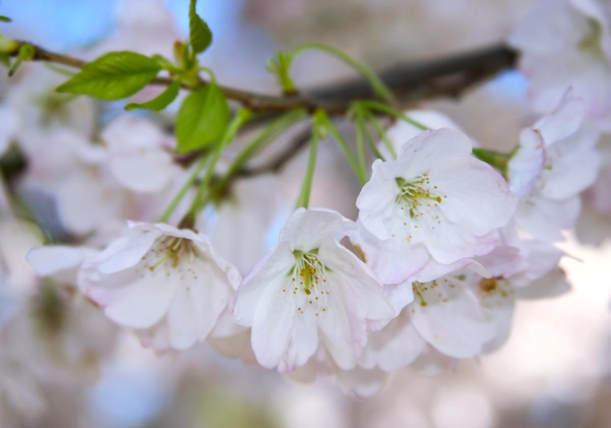 Types Of Flowering Cherry Trees