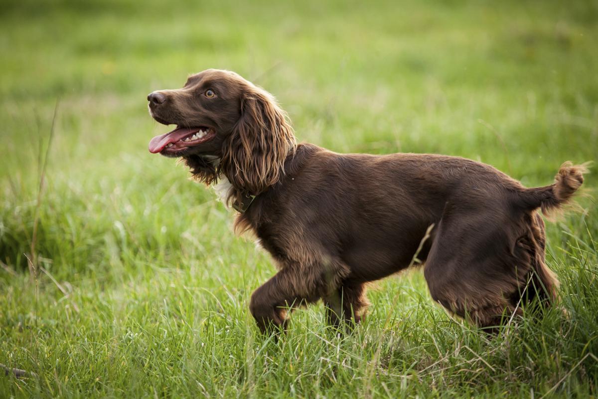 Bird Hunting Dog Breeds