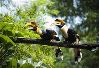 Twin Hornbill