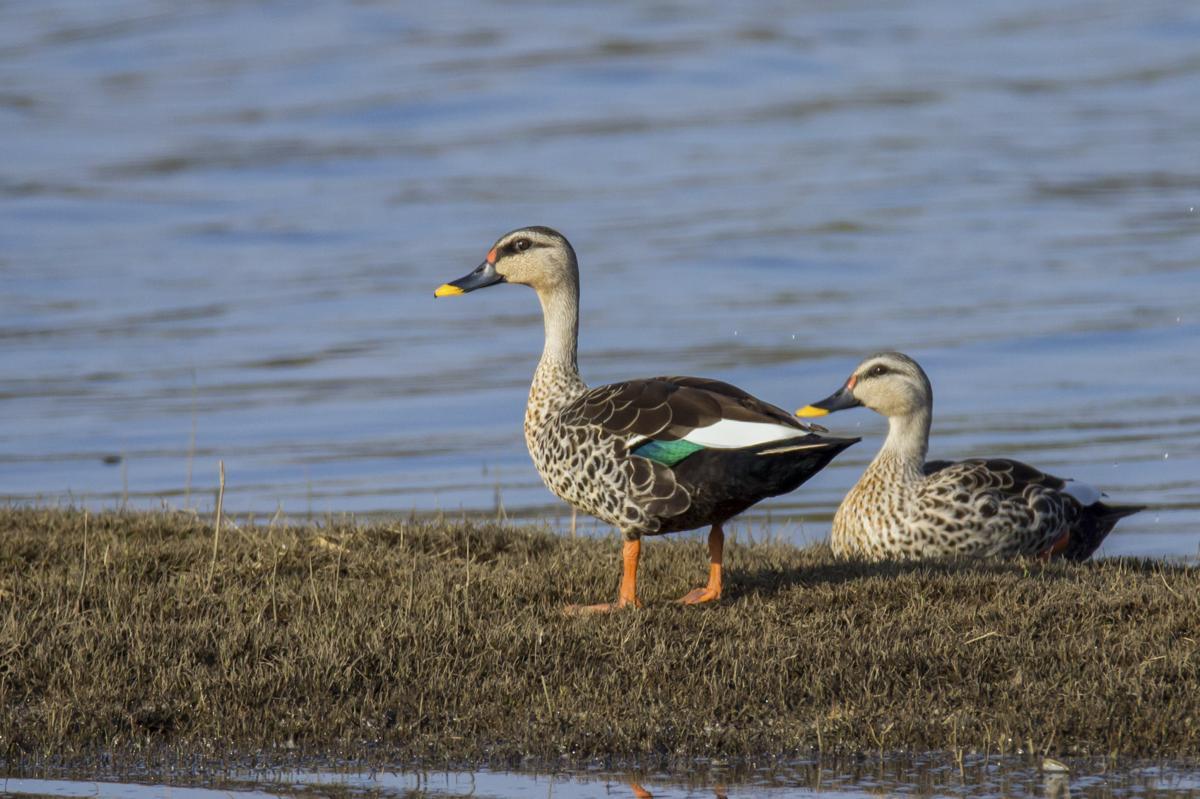 here u0027s all the info you needed on raising mallard ducklings