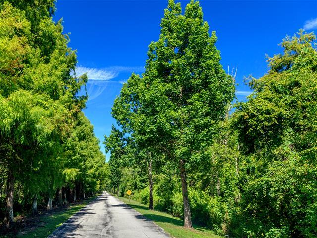 Bald Cypress Trees near road