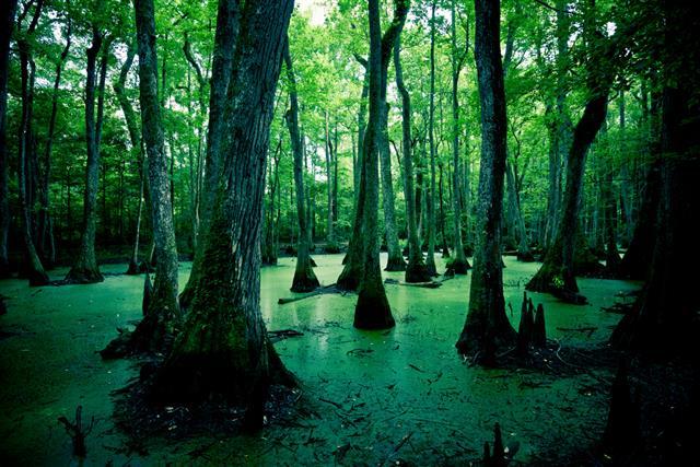 Bald Cypress Trees