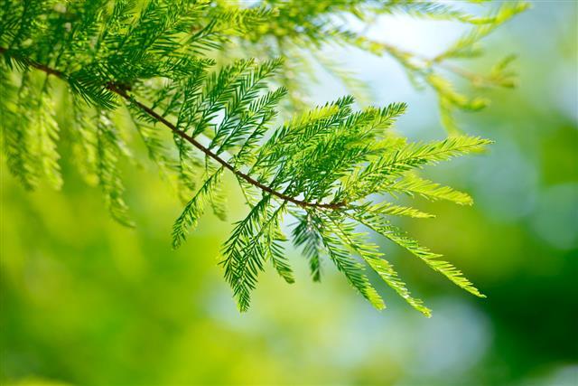 Detail of branch tree Bald Cypress
