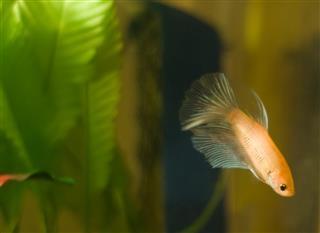 Delta Betta Fish