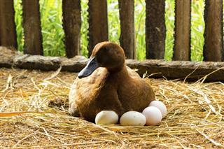 Duck incubator her eggs on the straw nest