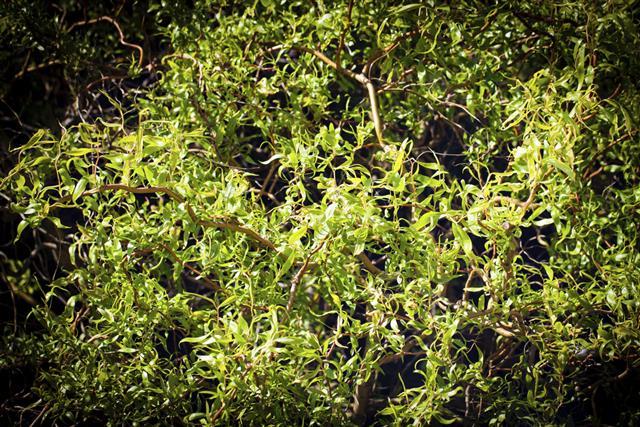 Salix matsudana (Chinese Willow)