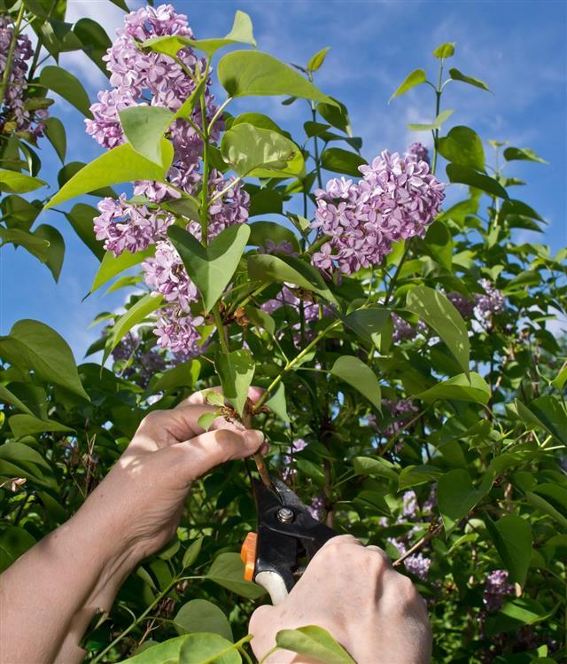 Pruning Lilac