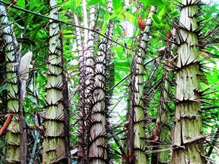 Rattan palms