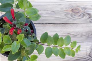 Lipstick vine(Aeschynanthus radicans jack)