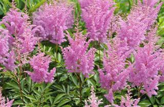 Pink astilbe flower
