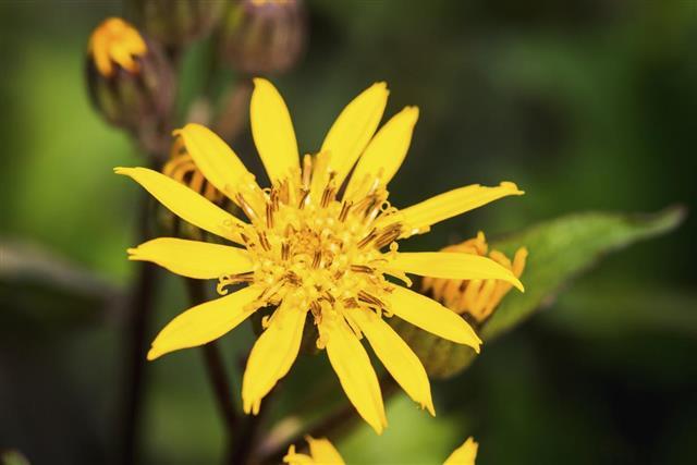 Ligularia flower