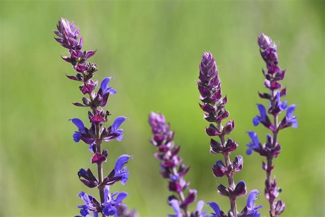Purple Meadow Sage