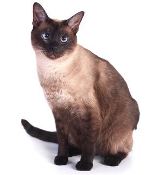 Tokinese Cat